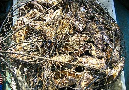 掃除した牡蠣を籠に入れて筏に吊る